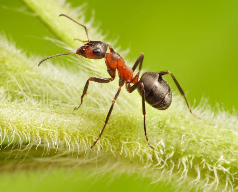Как взаимодействуют муравьи и тля
