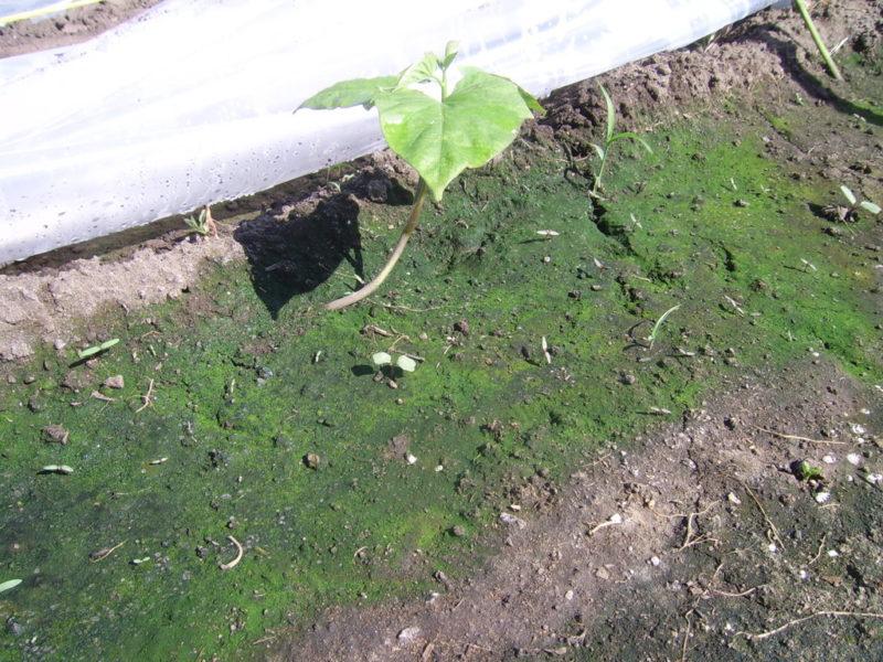 Что делать, если почва в теплице позеленела или покрылась мхом