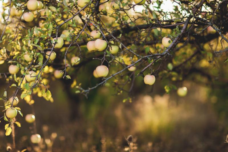 Почему яблоки гниют прямо на дереве и что делать