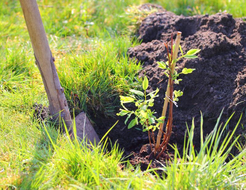 Почва под жимолость