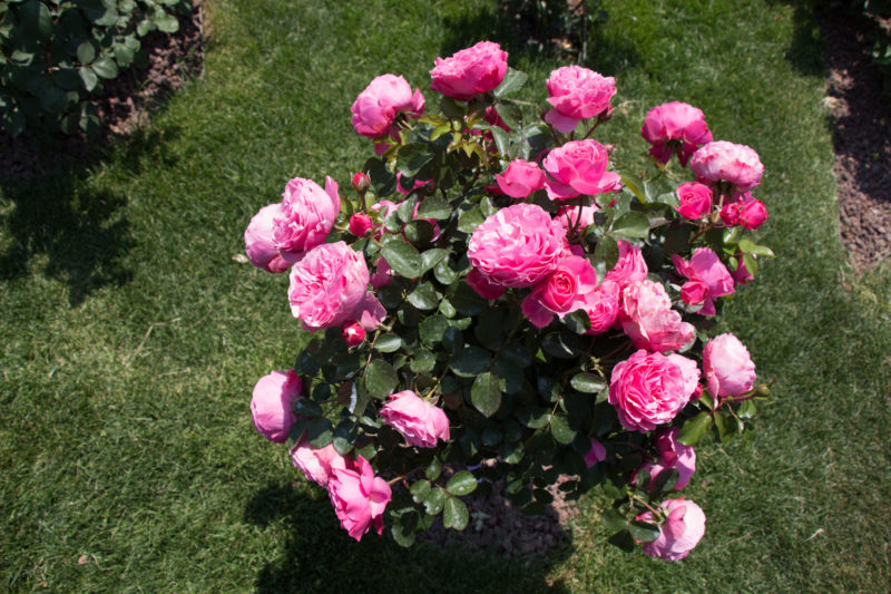 Когда лучше пересаживать вьющуюся розу