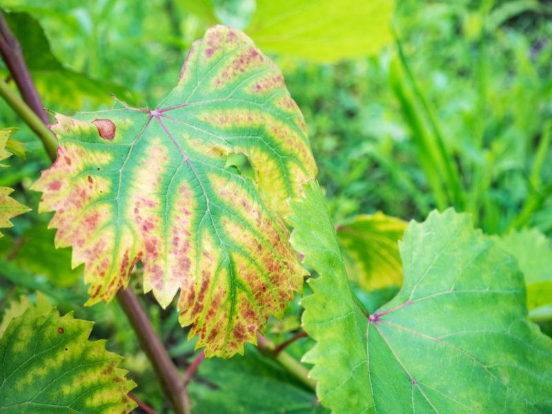 Коричневые пятна на листьях винограда что делать
