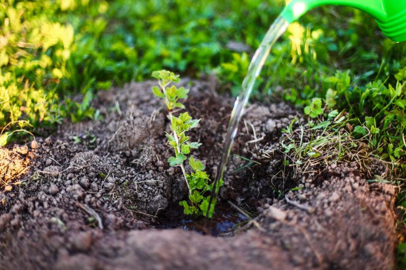 Чем подкормить смородину осенью для получения хорошего урожая в следующем году