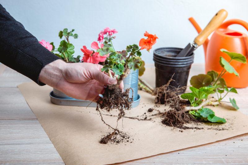 Пеларгония — уход в домашних условиях, польза и вред для дома