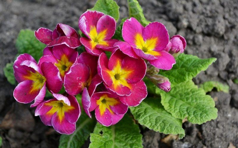 Какие многолетники, цветущие весной, необходимо пересаживать в конце лета