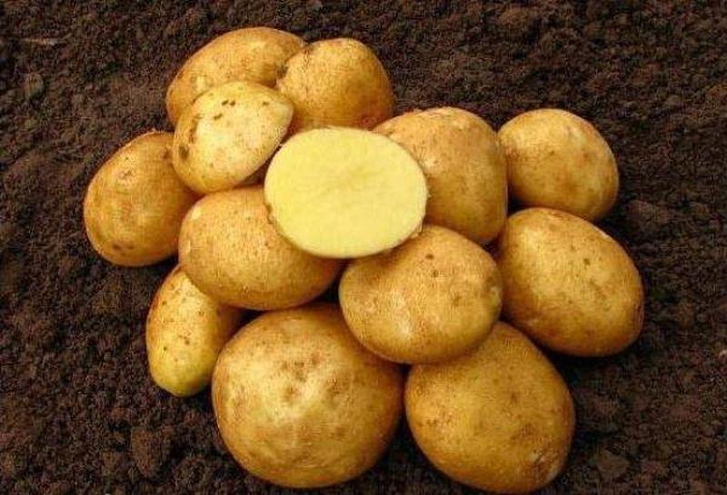 таро картофель венета описание сорта фото гонке приняли участие