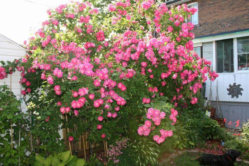 Морозостойкие сорта роз, не нуждающиеся в зимнем укрытии