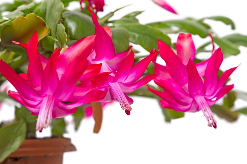 Шлюмбергера (декабрист): почему нет бутонов, как стимулировать процесс цветения