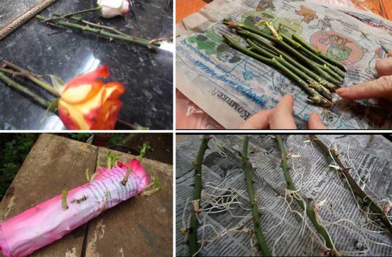 Черенкование розы способом «буррито»: пошаговая инструкция
