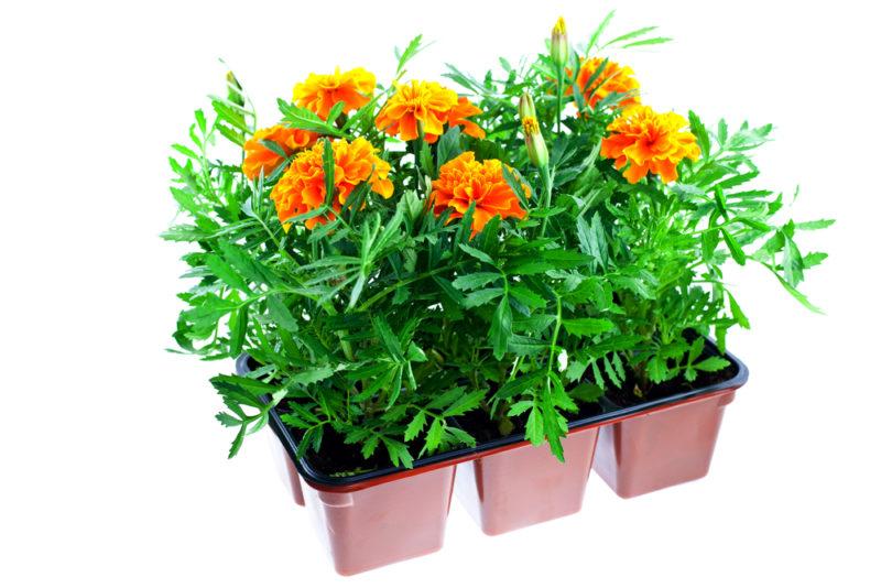 методика выращивания рассады бархатцев без земли