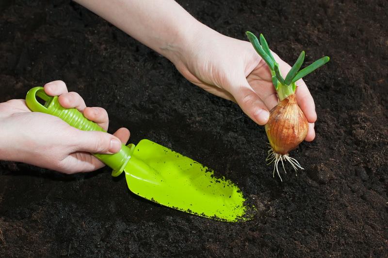 Репчатый лук: секреты выращивания хорошего и крупного урожая