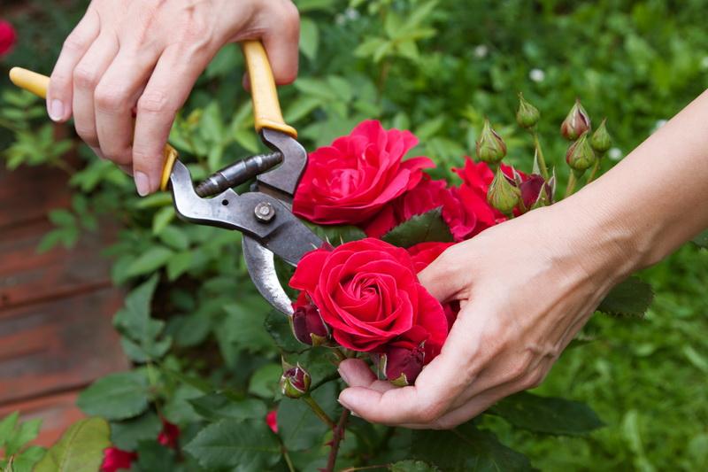 Почему розы болеют и гибнут: 5 основных ошибок при выращивании