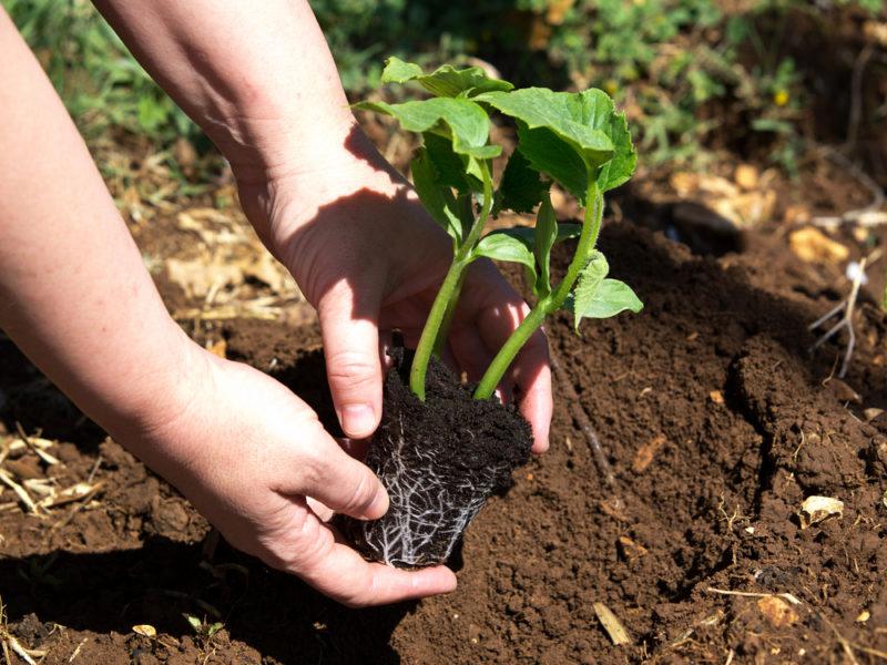 Выращивание тыквы: какие проблемы бывают и как их решить