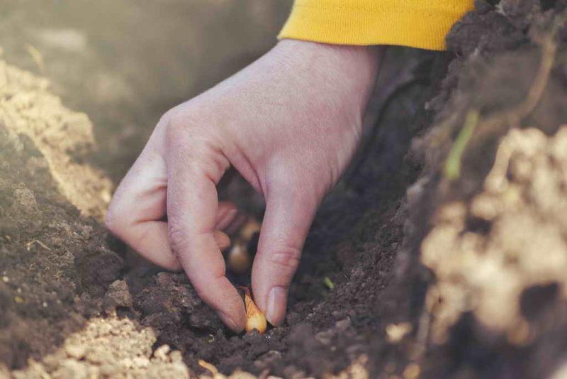 Чем выращивание лука-шалота отличается от обычного репчатого
