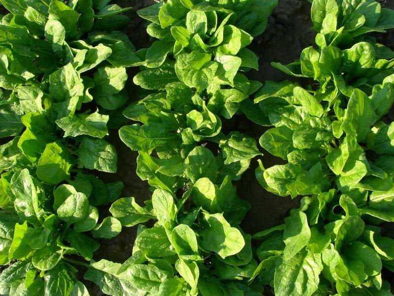 Что лучше выращивать на освободившихся после озимого чеснока грядках