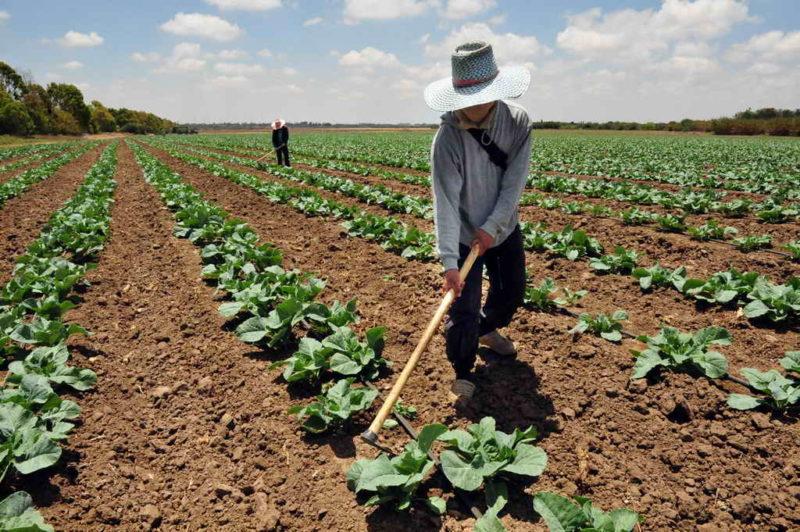 Посев пекинской капусты в июле — залог высокой урожайности