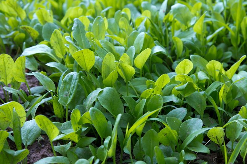 Топ-7 растений-агрессоров, молниеносно атакующих участки