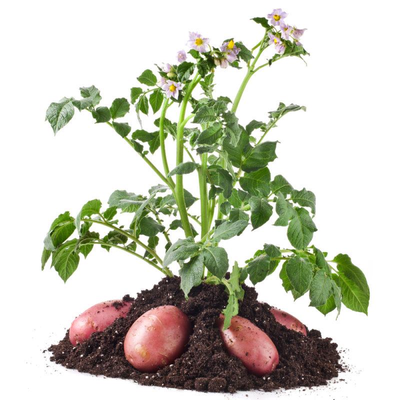 Секреты хорошего урожая картофеля