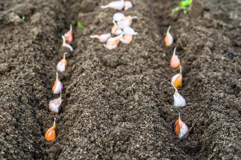 Лучшие сорта ярового чеснока для хороших урожаев и длительного хранения