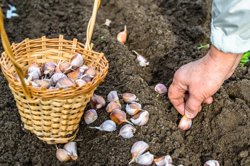 Как получить отличный урожай озимого чеснока: правила посадки, выращивания и уборки