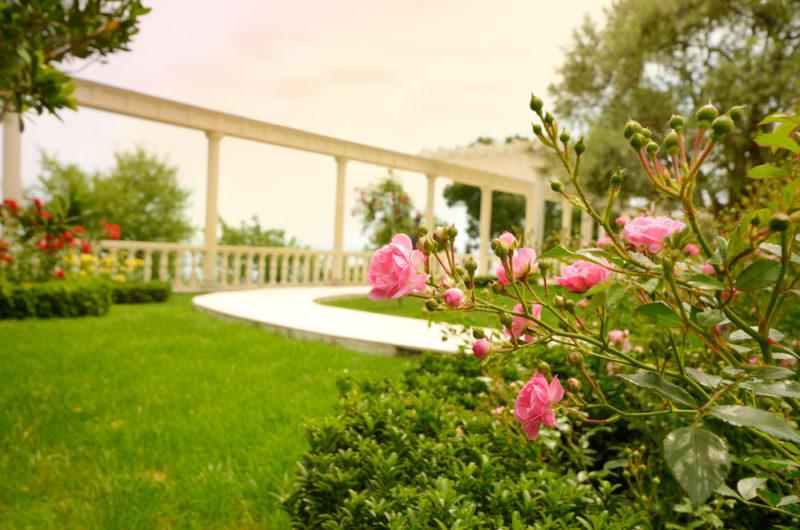 Розы в тени — как их выращивать