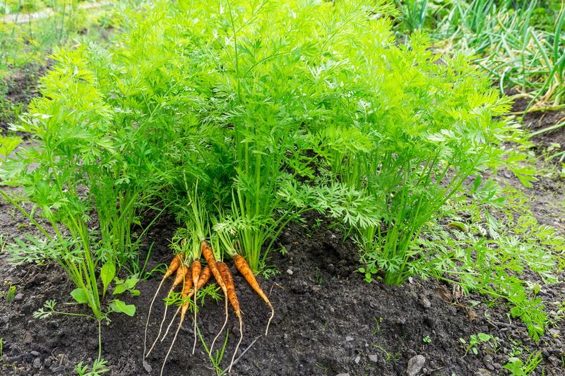 7 способов посева моркови, обеспечивающих высокий и качественный урожай