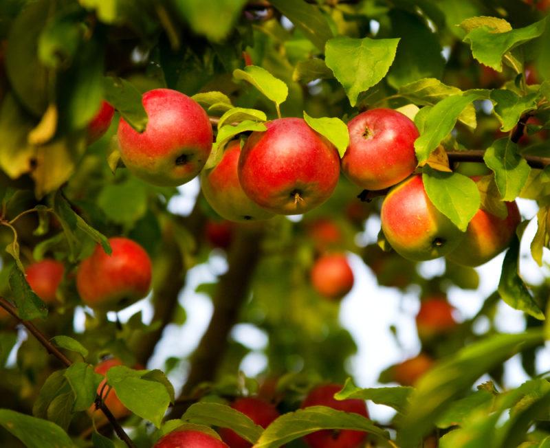 Способы омоложения старой яблони