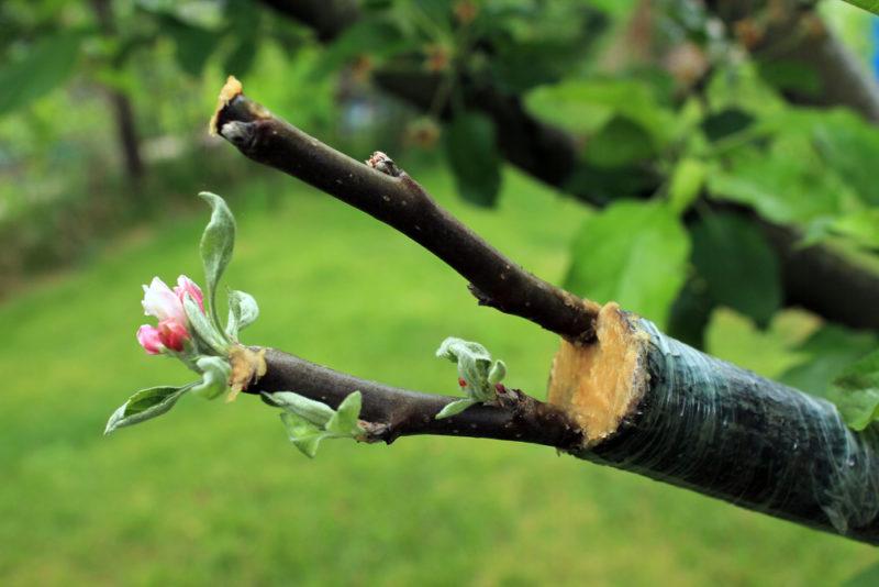 Прививка яблони: способы, сроки, последующий уход