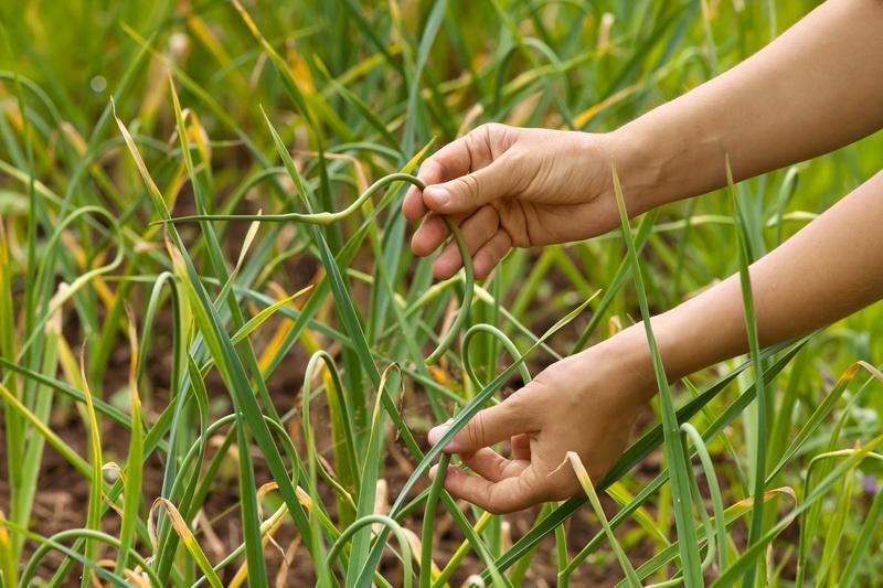 Завязывание листьев чеснока: чем это полезно?