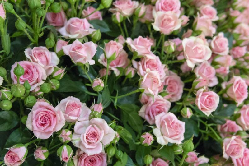 Оформление сада: 8 шикарных сортов роз с непередаваемым ароматом