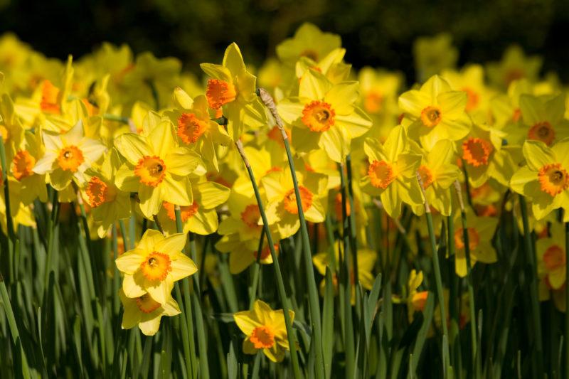 Возможные причины отсутствия цветения у нарциссов