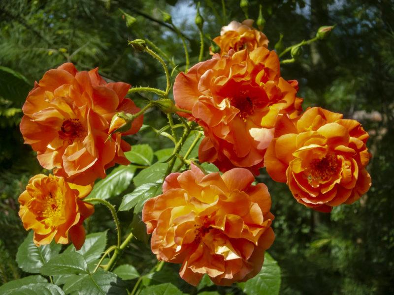 Как размножают розы черенками: краткое руководство для цветоводов