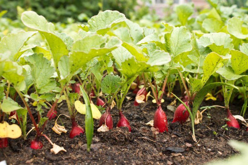 Как получить обильный урожай редиса: секреты опытных садоводов