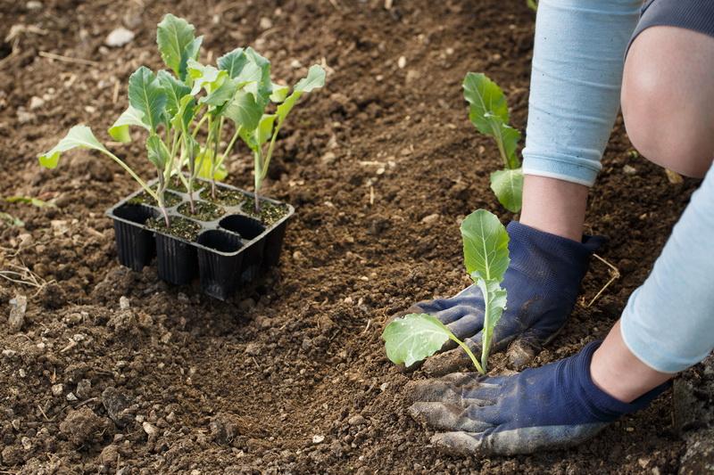 Цветная капуста: как исключить ошибки и вырастить качественный урожай