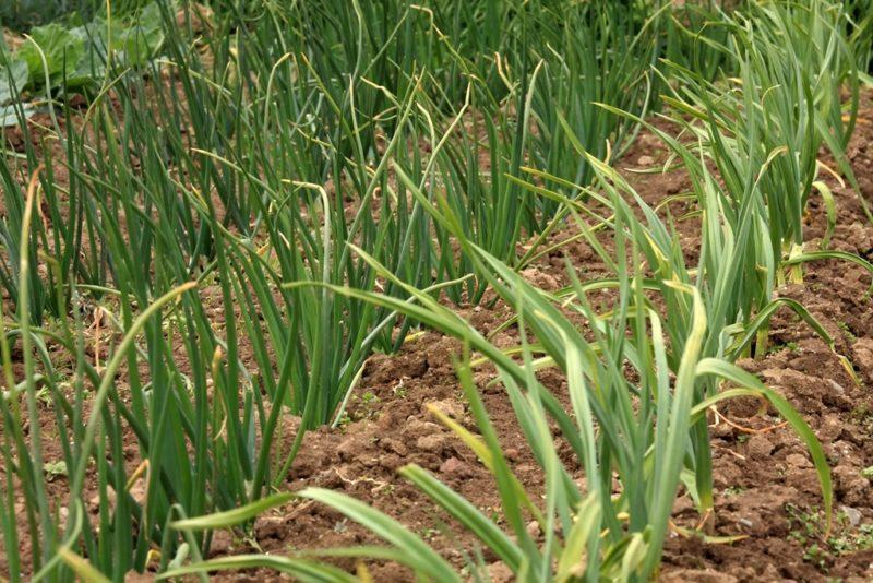 Как сохранить лук: 4 болезни, поражающие урожай