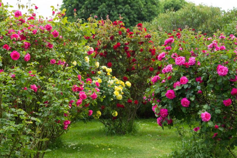 Развенчиваем стандартные 5 мифов о розах