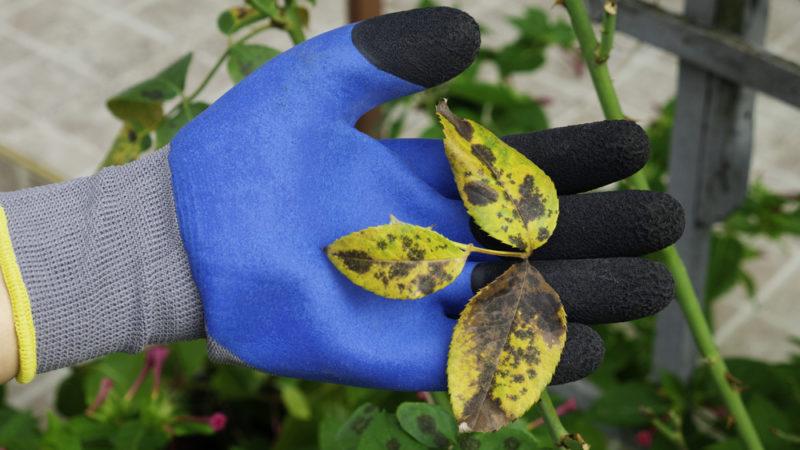 Что делать, если листья розы покрылись цветными пятнами? Избавляемся от ненужных и опасных «украшений»