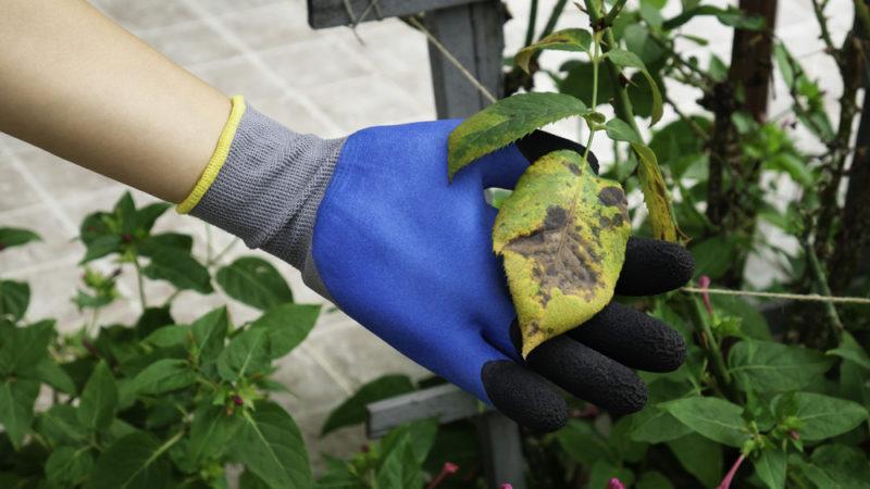 Грибковое поражение розы и методы профилактики