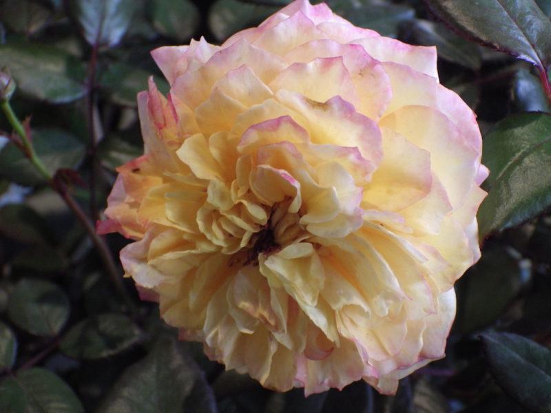 Необычайная красота: 8 лучших двуцветных сортов роз