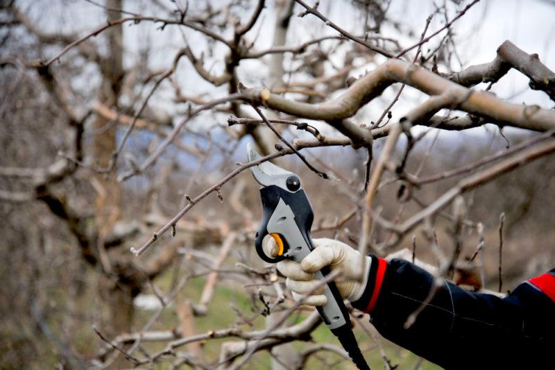 Советы начинающим садоводам: когда обрезать яблони