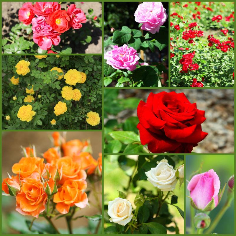 Выращиваем розы в контейнерах: выбор емкости, сорта и правила ухода
