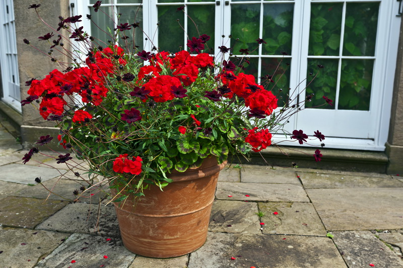 Не цветет герань — причины и решения
