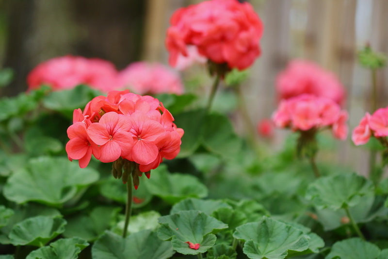 Ищем компаньонов, или Какие культуры стоит посадить рядом с розами