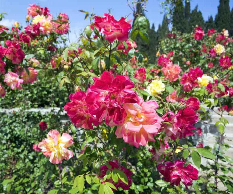 Кустовые розы — идеальный вариант для создания роскошного сада
