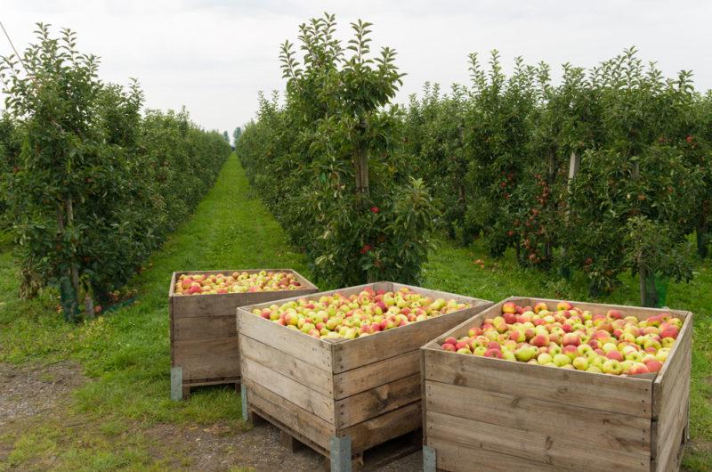 Урожай яблок только через год — почему так происходит?