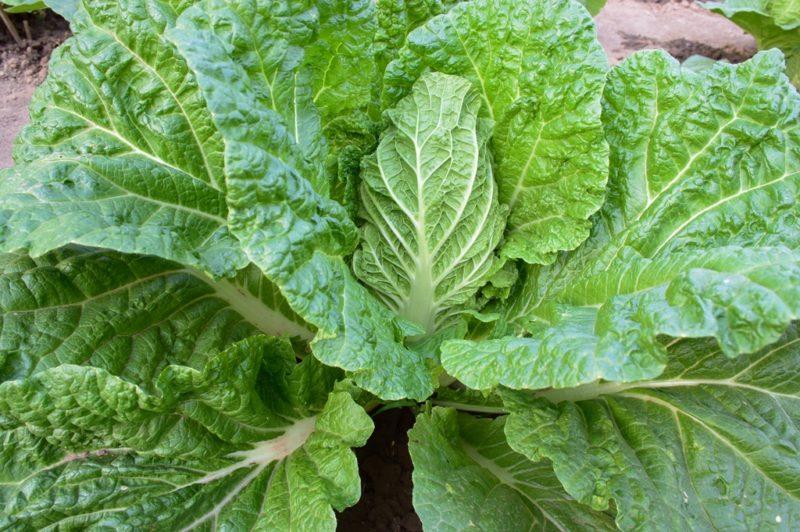 Выращивание капусты без рассады: на что обратить внимание