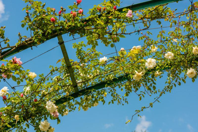 7 причин, почему плетистые розы не желают цвести