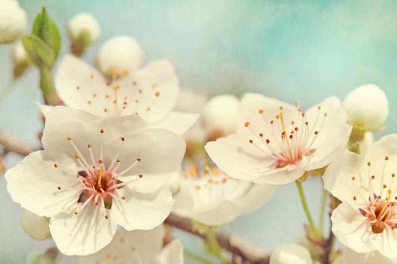 Подкармливаем вишню и черешню с весны и до осени
