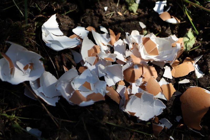 Яичная скорлупа на садовом участке: как правильно использовать в качестве удобрения