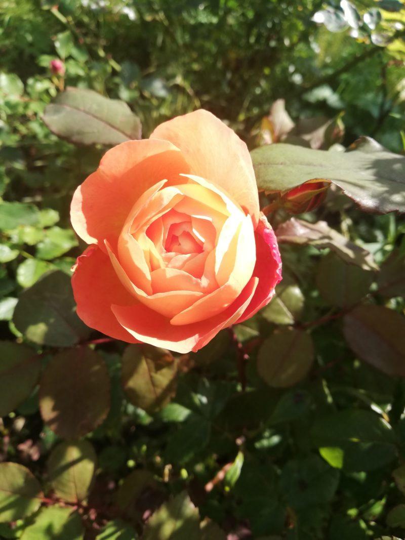 Создание изысканных цветочных композиций с использованием разных сортов плетистых роз — 6 вариантов для вашего цветника